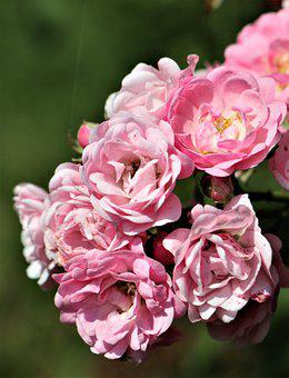 Roses, Flowers, Pink Roses, Rose Bloom, Petals
