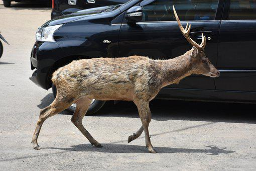 Deer, West Java Province, Indonesian Animals