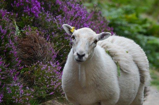 Sheep, Animal, Lamb, Mammal, Farm, Wool, Agriculture