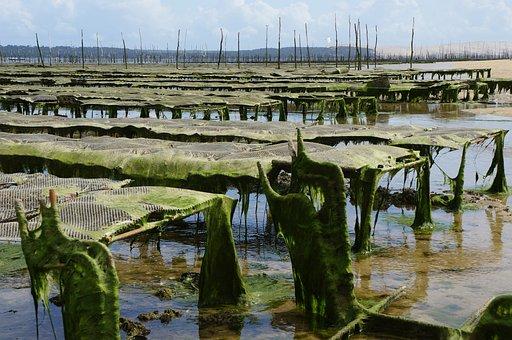 Oyster Farm, Farm, Coast, Sea, Aquaculture, Cultivation
