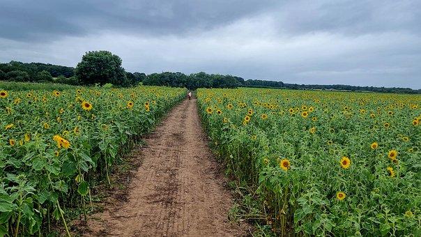Sunflowers, Flowers, Field, Sunflower Field, Landscape