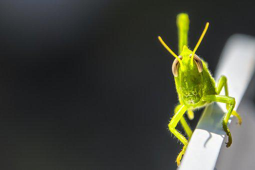 Grasshopper, Insect, Green, Mantodea, Nature, Animal