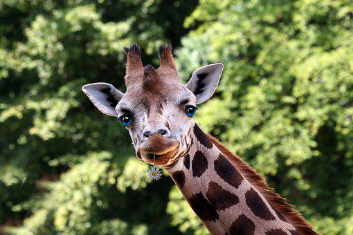 Flower Giraffe, Giraffe Look, Giraffe, Wildlife