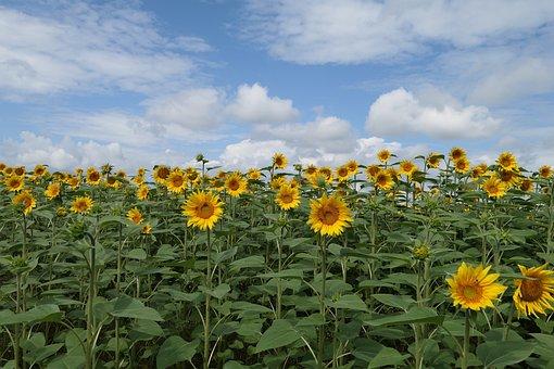Sunflowers, Flowers, Field, Sky, Clouds