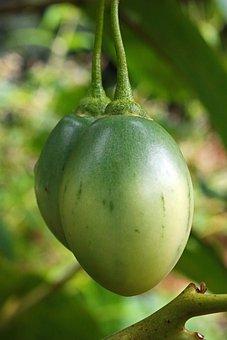 Tomato, Fruit, Tree, Ripening, Green, Exotic, Oval