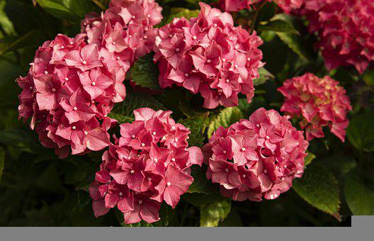 Hydrangea, Flowers, Garden, Petals, Hydrangea Petals