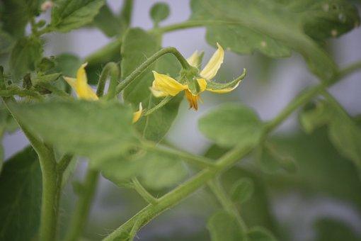 Tomato Plant, Tomato Flower, Garden, Plant, Nature