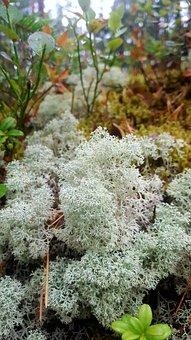 Star Tipped Cup Lichen, Lichens, Plants, Cladonia