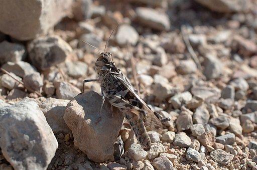 Grasshopper, Insect, Mantodea, Animal, Entomology
