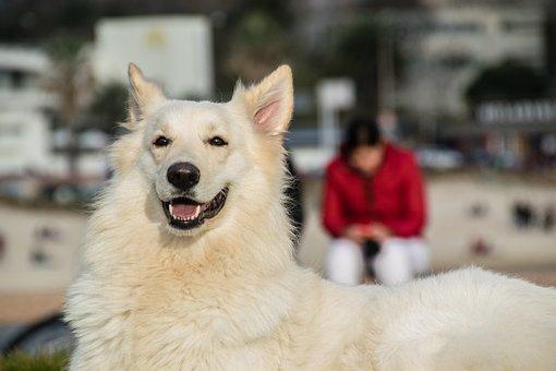 Dog, Pet, Canine, Animal, Lying, Fur, Snout, White Dog