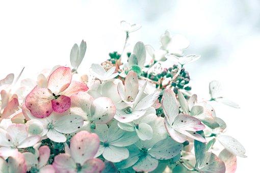 Flowers, Hydrangeas, Bloom, Blossom, Growth, Botany