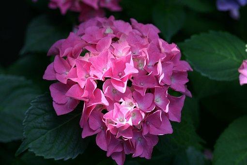 Flower, Hydrangea, Garden, Bloom, Blossom, Growth