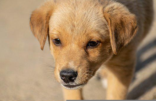 Puppy, Dog, Pet, Canine, Animal, Fur, Snout, Doggy