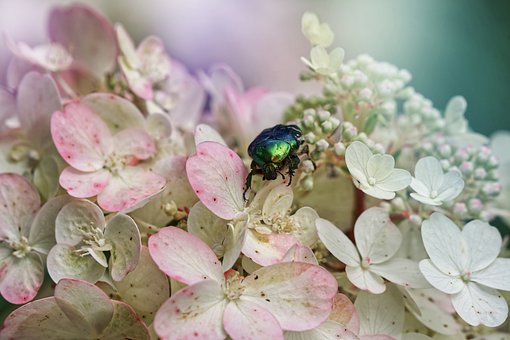 Rose Chafer Beetle, Beetle, Flowers, Insect, Hydrangea