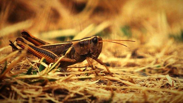 Insect, Grasshopper, Entomology, Species, Macro, Bug