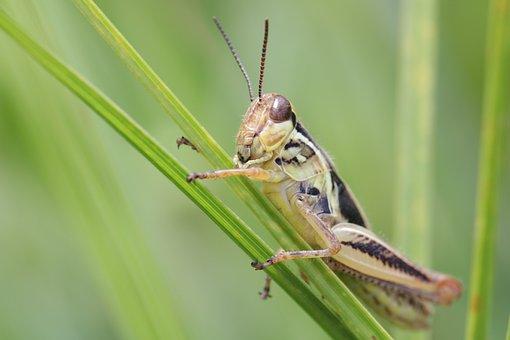 Grasshopper, Insect, Mantodea, Nature, Animal