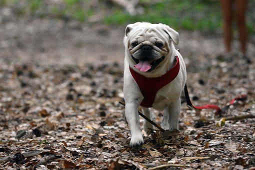 Dog, Puppy, Pet, Canine, Animal, Leash, Fur, Snout