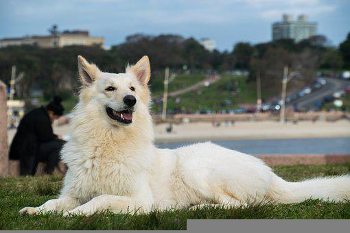 Dog, Pet, Canine, Animal, White Dog, Lying, Fur, Snout
