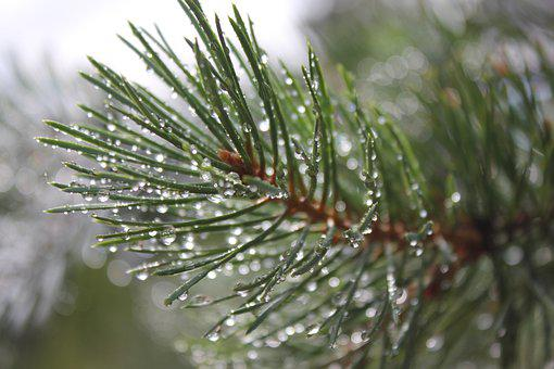 Pine, Evergreen, Conifer, Branch, Tree, Forest, Nature