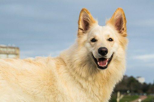 Dog, Pet, Canine, Animal, White Dog, Fur, Snout, Mammal