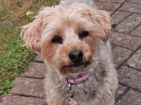 Dog, Terrier, Pet, Canine, Animal, Leash, Fur, Snout
