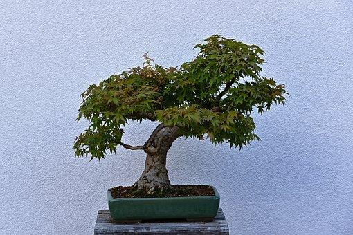 Bonsai, Tree, Plant Pot, Bonsai Tree, Trunk, Leaves