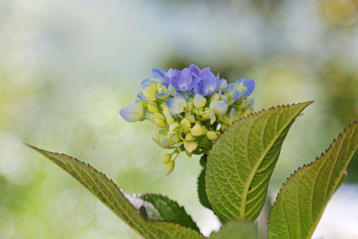 Hydrangea, Flowers, Plant, Flora, Bloom, Blossom
