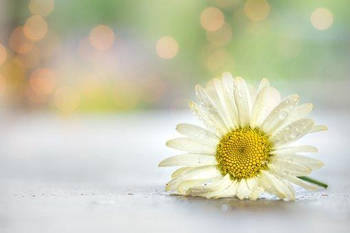 Daisy, Flower, Dew, Dewdrops, Wet, Petals, Bloom