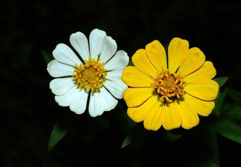 Zinnia, Flowers, Flora, Garden, Nature, Flower, White