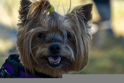 Dog, Terrier, Pet, Canine, Animal, Fur, Snout, Doggy