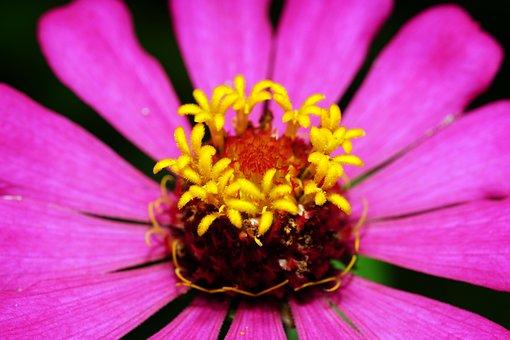 Zinnia, Pink, Flower, Flora, Nature, Pistil, Macro