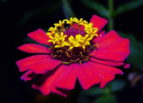 Zinnia, Pink, Flower, Flora, Nature, Macro