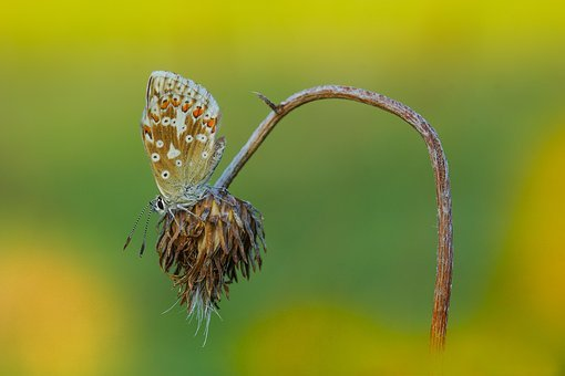 Butterfly, Yellow, Grass, Roost, Ali, Antennas, Eyes
