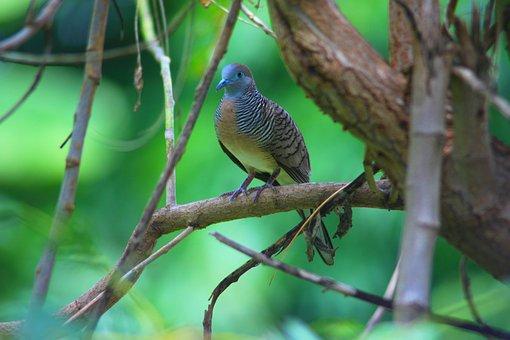 Birds, Dove, His Javanese Birds, Animals