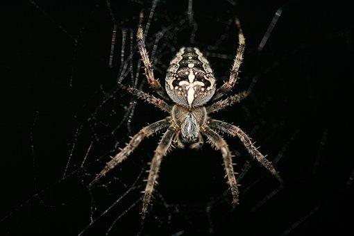 Araneus Diadematus, Cross Spider