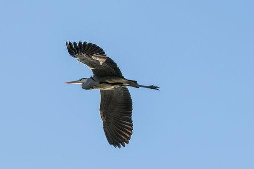 Heron, Heron In Flight, Bird, Fly, Birds, Wing, Sky