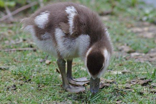 Goose, Chicks, Bird, Poultry, Head, Close, Schwimmvogel