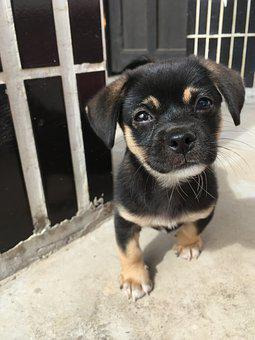 Wang, Kennel, Puppy, Black, Any Variety