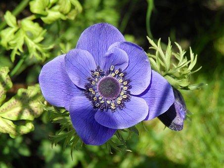 Anemone, Wood Anemone, Flower, Bloom, Grow