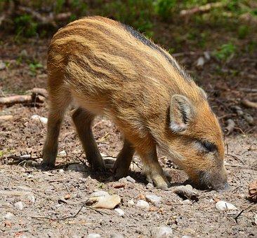 Hog Wild, Piglet, Animal, Snout, Pig, Brood, Swine