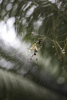 Spider, Net, Tropical, Exotic, Weaver, Golden, Silk
