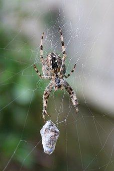 Araneus Diadematus, Spider, Garden Spider