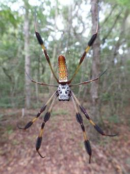 Spider, Golden Silk Orb Weaver, Arachnid, Female
