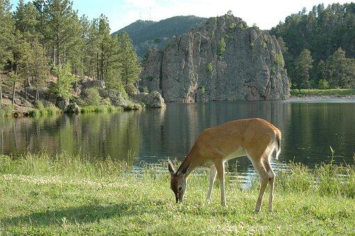 Nature, Deer, Lake, Peaceful, Restful, Walk, Scenic