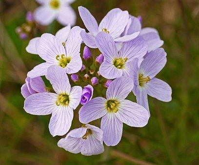 Smock, Rain Field, Spring, Single Flowers, Macro, Close
