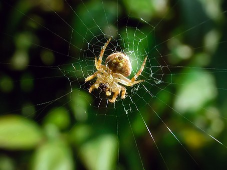 Hairy Field Spider, Neoscona, Harmless, Garden