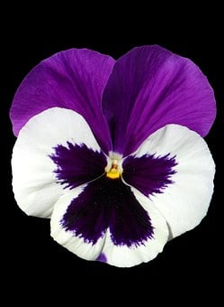 Pansy, Violet, Purple, Isolated, Single Flower, Light