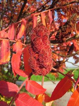 Rhus Typhina, Staghorn Sumac, Tree, Foliage, Autumn