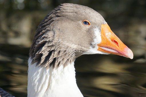 Goose, Pomeranian Goose, Rügenergans, Magpie, Portrait