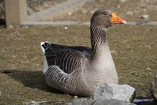 Goose, Magelangans, Magpie, Bird, South America